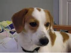 Image result for smooth fox terrier beagle mix