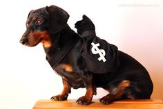 Crusoe the Robber Brown Dachshund, Dachshund Funny, Dachshund Love, Daschund, Cops And Robbers Costume, Robber Costume, Crusoe The Celebrity Dachshund, Funny Dog Pictures, Dog Costumes