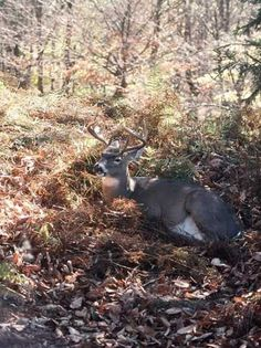 Deer Hunting and Weather _Whitetail Buck in the shade.
