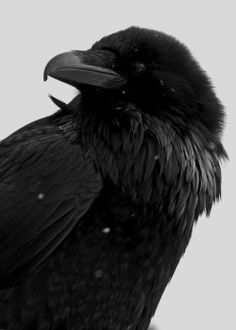 Raven (I love these #birds-they're so dark & mysterious and always conjure up images of the famous Edgar Allen Poe story for me...