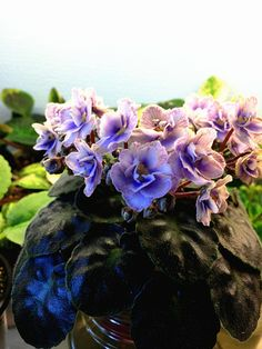 "Saintpaulia ""Persian Lace"" de Linn....3 African Violet, Saintpaulia, Grown by Boa Linn, photo taken by Boa Linn."