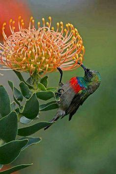 Southern Double collared Sunbird (Cinnyris chalybeus) on South African Protea flower. Beautiful Birds, Animals Beautiful, Beautiful Places, South African Birds, Protea Flower, Desert Plants, Mundo Animal, Exotic Birds, Bird Species