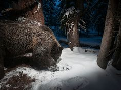 Picture of a grizzly bear digging in the snow near Yellowstone National Park.