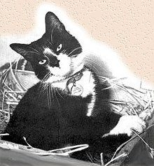 Simon of HMS Amethyst, a real feline hero: see more in the Featured Feline para at the foot of the page