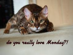 do you really love Monday?! - kitten, cats, funny, animals