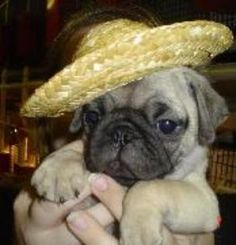 the world needs more pug babies in sombrero's