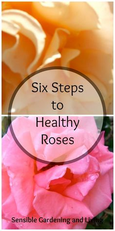 Six Steps to Healthy Roses with Sensible Gardening and Living