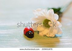 Chrysanthemum flower ladybug spring tender love - stock photo