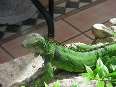 Aruba Iguana