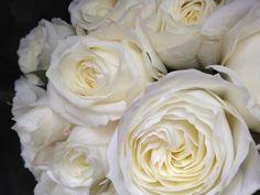 'Alabaster' Garden Rose