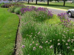 Allium 'Summer beauty', Calamintha nepeta ssp. nepeta, Stachys 'hummelo, Seslaria autumnalis