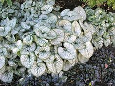 Brunnera 'Jack Frost' for the shade garden. I <3 these!