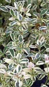 Silver thyme.