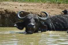 A buffalo cooling himself in a pond in Murchison Falls
