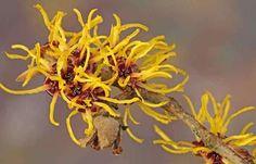 eau florale hamamélis pour adoucir la peau