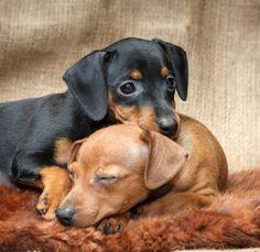 5 razas de perros pequeños que no crecen.  #mascotasuncomo #perrosuncomo #perroscachorros #perrosgrandes #razasdeperros