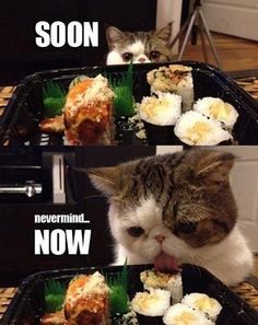 So cute. Little persian cat eating sushi