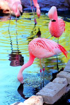 Flamingos - ©Grant Brummett - www.flickr.com/photos/grantbrummett/3454440480/in/set-72157614936305958