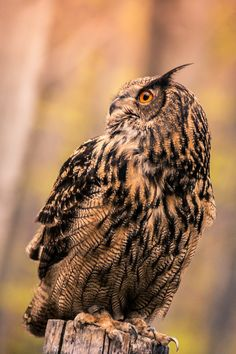 Waiting // Eagle Owl - Eurasian Eagle-owls (Bubo bubo) combine fast and powerful flights with shallow wing beats and long, fast glides. They also soar on updrafts, displaying a type of flight similar to that of soaring hawks like the Red-tailed Hawk.