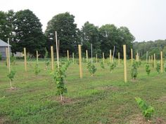 2010.08.20 - Valeria H.'s young grape vineyard   #starkbros customer photo