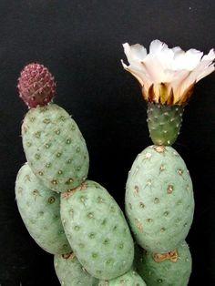 Tephrocactus geometricus-8-