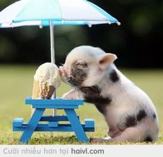 pig, ice cream, cute, animal - inspiring picture on Favim.com Everyone who love pet/animal cute,just flowing me or invited me to board!!!!!