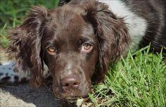 Working Springer Spaniel, Spaniel Dog, Spaniels, Vizsla, Dog Photos, National Geographic, Fur Babies, Labrador Retriever, Puppies
