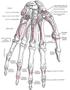 Bones of the Human hand~ carpals of the wrist, metacarpals of the hand, phalanges of the fingers and thumb