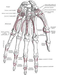 Bones of the Human hand~ carpals of the wrist, metacarpals of the hand, phalanges of the fingers and thumb
