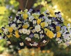 Pansy Cool Wave Mixed. These delightful pansies are strong growers and will produce lots of flowers. Their stems can trail up to 120cm long and as the plants branch naturally as they grow, no pinching is required. Colours include aquamarine, blue and white, light blue, orange, purple-blue, white and yellow. Fill your baskets, window boxes and pots with them for a sensational spring display.