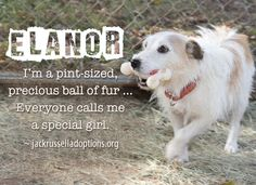 Today's Jack Russell rescue for sponsorship and possible adoption/foster - Elanor!
