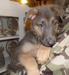 "austin pets ""akc german shepherd"" - craigslist | puppies ..."