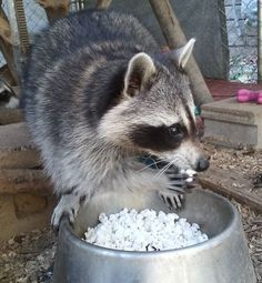 """So.....where's the movie to go with this popcorn?"" (Is it just me or are there more little raccoon hands than there should be for just the one visible raccoon?)"