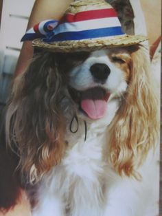 Abbey (Cavalier King Charles Spaniel) dressed up for the fourth of July parade