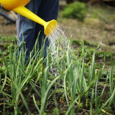 Чеснок входит в число популярных культур, выращиваемых на загородных участках. Это неудивительно, учитывая его пользу для здоровья человека и мировую популярность в качестве приправы. Каждый садовод м...