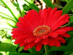 Lots of sunshine, lots of red gerbera daisies in bloom now . . .