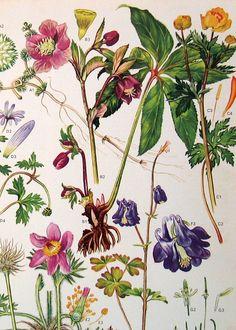 Vintage Botanical Prints Flowers   by ninainflorida