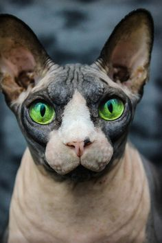 "Meet Fluffy the hairless cat. by Austin Pruett, via ""Fluffy"". Sense of humor. Sphynx Gato, Chat Sphynx, Hairless Cats, Bengal Cats, Cool Cats, I Love Cats, Crazy Cats, Lykoi Cat, Winged Liner"