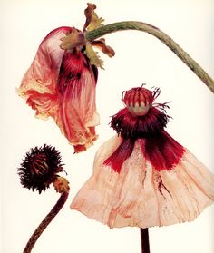 Love the whole life cycle of plants/flowers including the decay. Also love the whole plant from roots to petals. Nothing too pretty or perfect for the website.  Irving Penn still life with Iceland poppy.