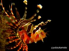 LionFish south bolaang mongondow regency north sulawesi - indonesia
