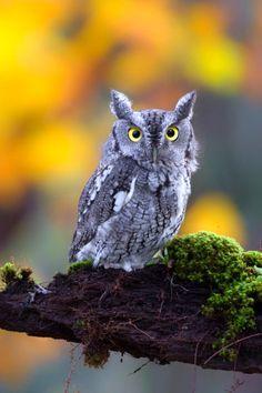A Good Thing Happened Owl Photos, Owl Pictures, Owl Bird, Pet Birds, Screech Owl, Beautiful Owl, Horned Owl, Wise Owl, Tier Fotos