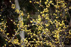 Beautiful Cornelian cherry Cherry Blooms, Yellow Flowers, Trees, Garden, How To Make, Beautiful, Garten, Tree Structure, Lawn And Garden