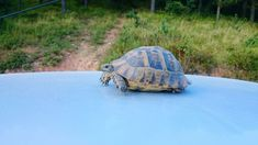 Learn the things you need to consider to transport a red-eared slider turtle in a car whether you are moving or just want to take them on a trip. Pet Turtle, Turtle Love, Hermann Tortoise, Red Eared Slider Turtle, Turtle Aquarium, Reptiles, Sliders, Transportation, Road Trip