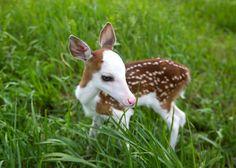 Corça branco-enfrentado raro, rejeitada pela mãe, encontra uma nova vida ao animal de fazenda | MLive.com