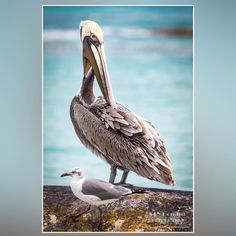 When you travel south it's good to try and shoot with some of the locals...from a trip a few years back to Playa del Carmen Mexico. #pellican #bird #wildlife #Mexico #playsdelcarmen #mayanriveria #vacation #landscape #beach #relaxation #tropical #wishiwashere #tourismmexico #tropicaldestination #mcdonaldphotography #mcdonaldphoto