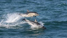 Dolphins on the way from Rosslare to Fishguard (Irish Sea)