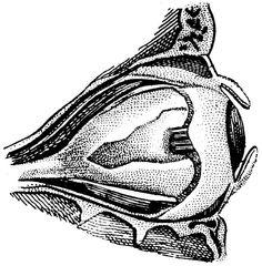Items similar to The human eye, Old medical atlas, illustration Digital Image, 79 on Etsy Realistic Eye Drawing, Drawing Tips, Drawing Reference, Sketching Tips, Drawing Ideas, Human Eye, Human Body, Eye Illustration, Human Anatomy