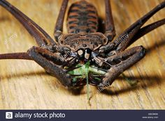whip-spider-eating-a-grasshopper-heterophrynus-sp-arachnida-amblypygi-EBC9WW.jpg (1300×960)