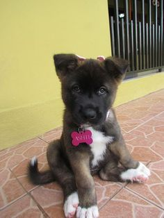 Are you freaking kidding me Sooo adorable this Akita pup Akita Puppies, Akita Dog, Cute Puppies, Cute Dogs, Dogs And Puppies, Doggies, Lemon Beagle, Mini Pinscher, Chien Akita Inu