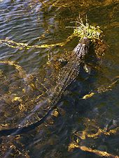 Gator and periphyton